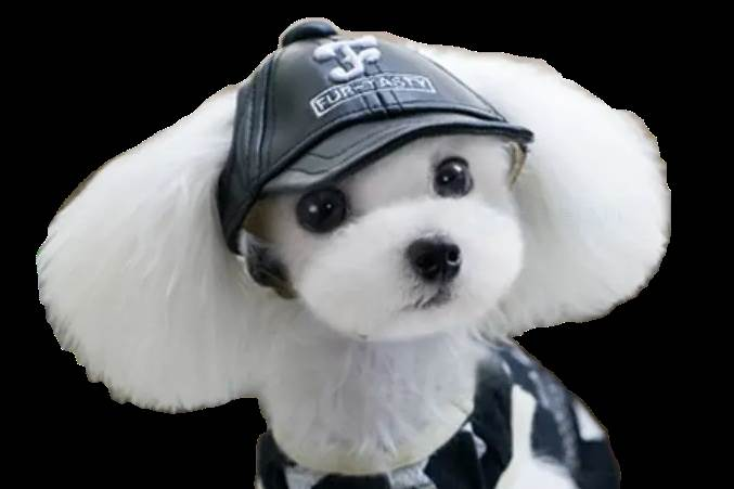 View of faux-leather cap on dog