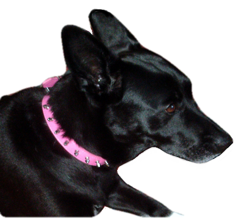 View of pink stud collar on dog