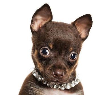 Smll dog wearing a rhinestone collar
