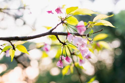 能古島アイランドパーク 桜 菜の花 夕焼け