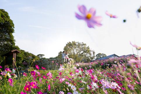 のこのしまアイランドパーク コスモス 夕焼け 福岡