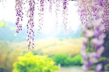河内藤園 藤の花 海 福岡