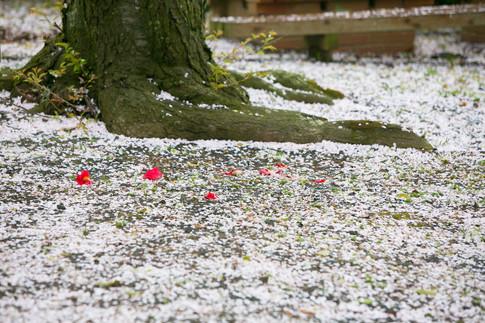 のこのしまアイランドパーク 能古島 菜の花 桜 前撮りロケーションフォト 家族写真 ファミリーフォト モリケン 森永健一 出張撮影 福岡