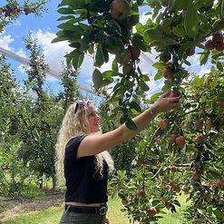 apple picking nicoletti orchards.jpg