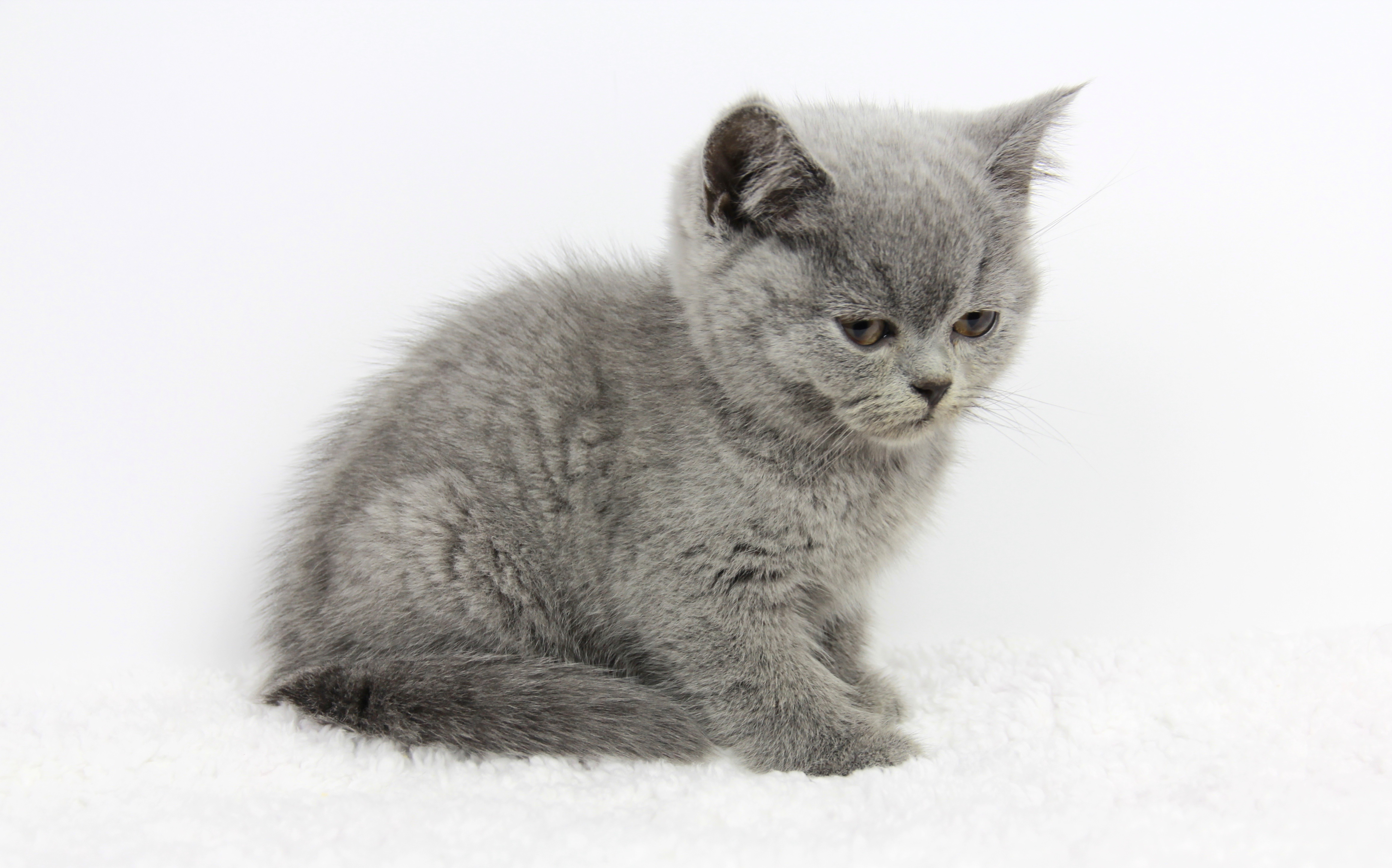 British Shorthair kitten for sale