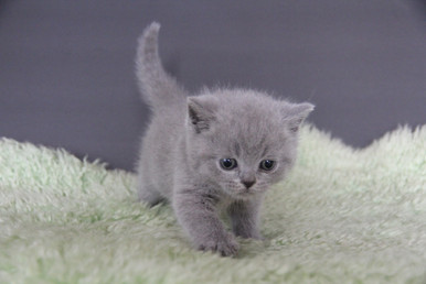 VIOLET | IDcatery BRITISH SHORTHAIR CATTERY, Seattle