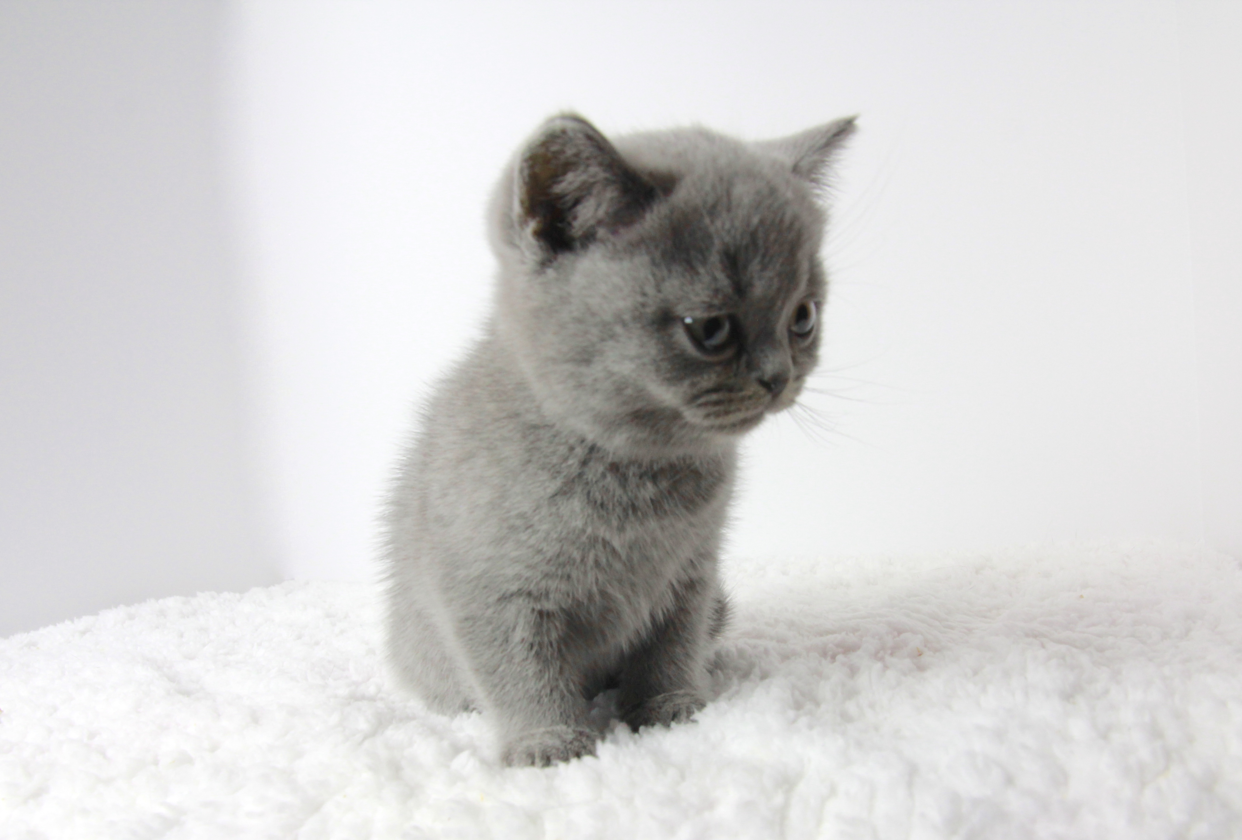 BSH BRI a, male British Shorthair