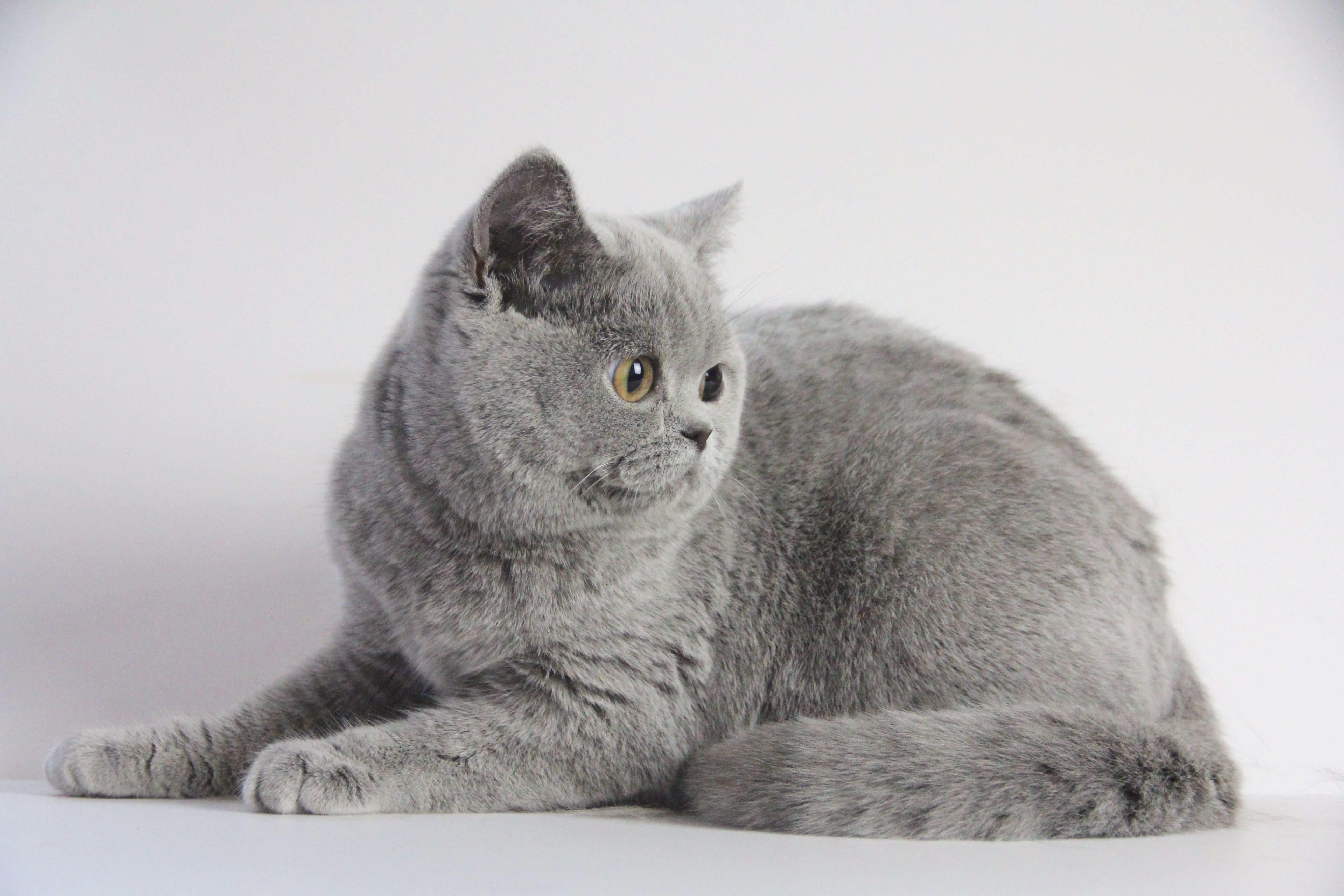 IDcatery BRITISH SHORTHAIR CATTERY, Seattle