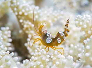 Sexy Shrimp, Bali, Indonesien 2019