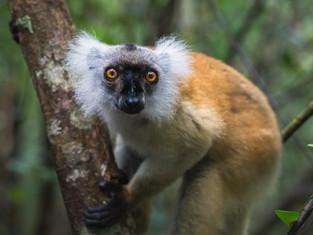 Mohrenmaki, Madagaskar