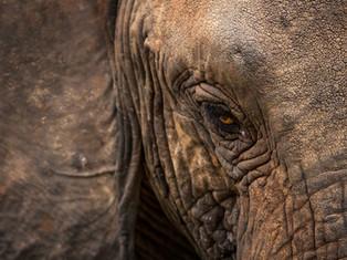 Afrikanischer Elefant, Lake-Manyara NP, Tansania