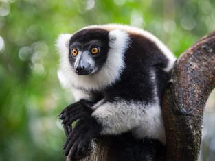 Schwarzweisser Vari, Madagaskar