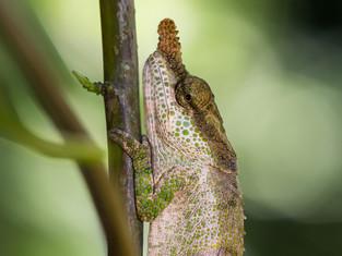 Calumma linotum (Chamäleon), Madagaskar