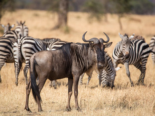 Gnu und Zerbras, Serengeti NP, Tansania