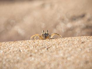 Kleine Krabbe, Madagaskar