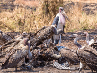 Geier und Marabou, Serengeti, Tansania