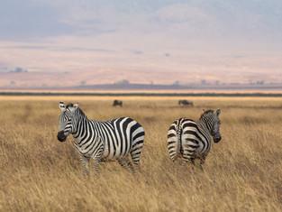 Zebras, Ngorongoro Krater, Tansania