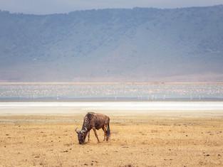 Gnu, Ngorongoro Krater, Tansania