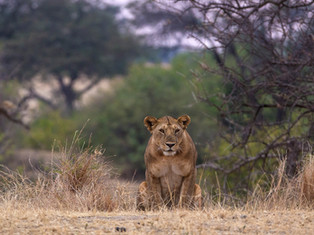 Löwe, Serengeti NP, Tansania