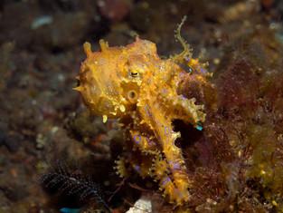 Blaurig-Oktopus, Bali, Indonesien