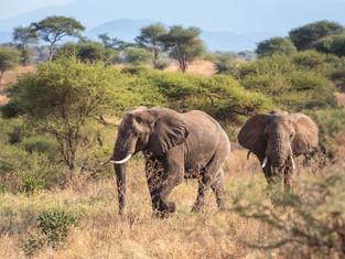 Afrikanischer Elefant, Tarangire NP, Tansania