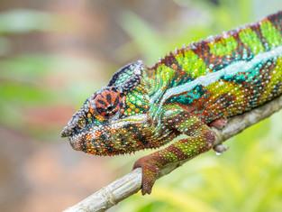 Chamäleon, Madagaskar