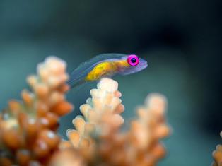 Pinkeye Goby, Madagaskar