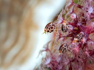 Ladybugs (Flöhe), Bali, Indonesien 2019