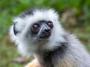 Sifaka, Madagaskar