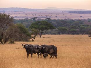 Afrikanischer Büffel, Serengeti NP, Tansania