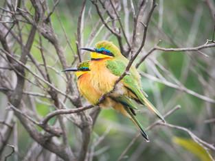 Zwerg-Bienenfresser, Arusha NP, Tansania