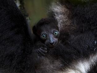 Indri-Baby, Madagaskar