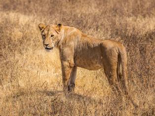 Löwe, Ngorongoro Krater, Tansania