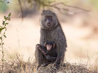 Pavianmutter mit Baby, Serengeti NP, Tansania