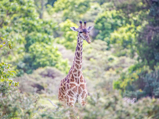 Giraffe, Arusha NP, Tansania