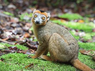 Kronenmaki, Madagaskar