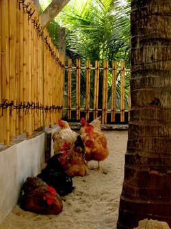 Novo cercado do galinheiro