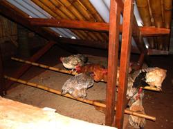 Novo abrigo do galinheiro