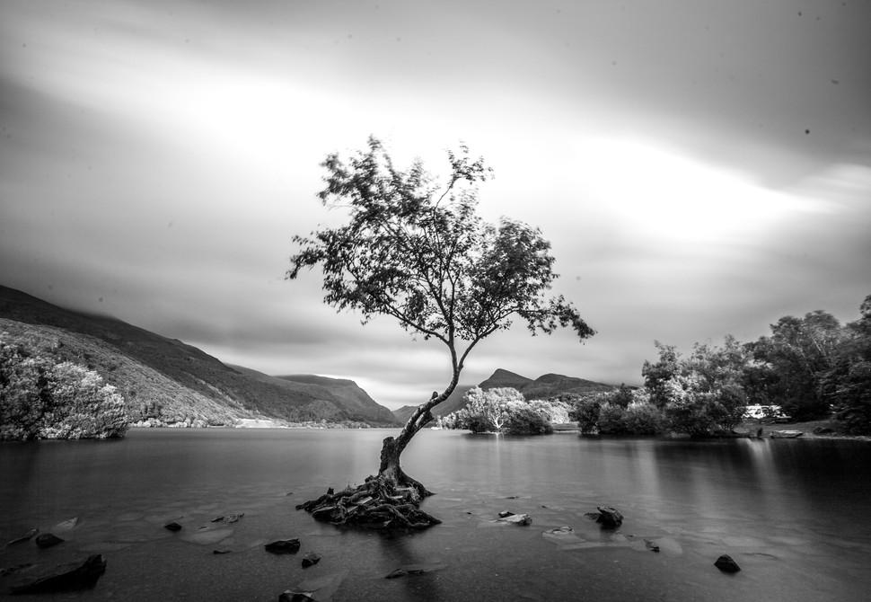 Llanberris Tree