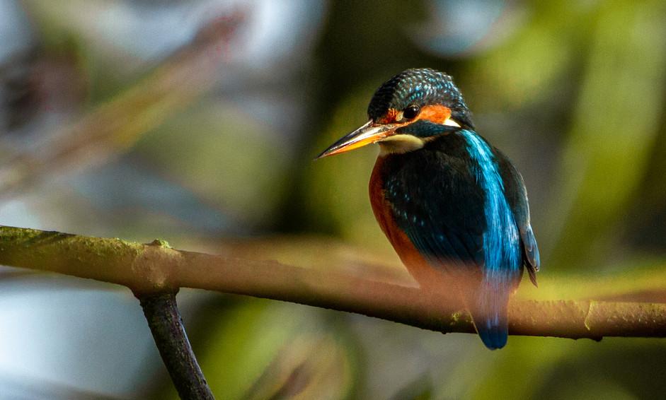 Comfy Kingfisher