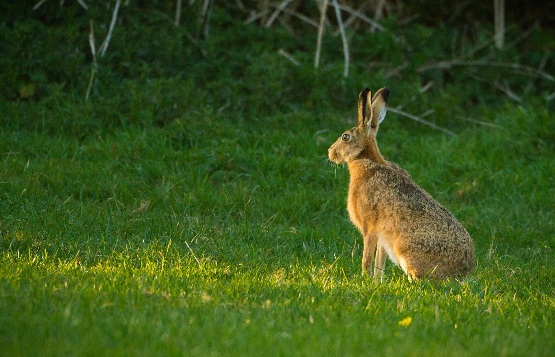 Sunset Hare