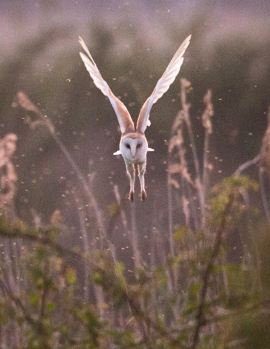 Swooping Owl
