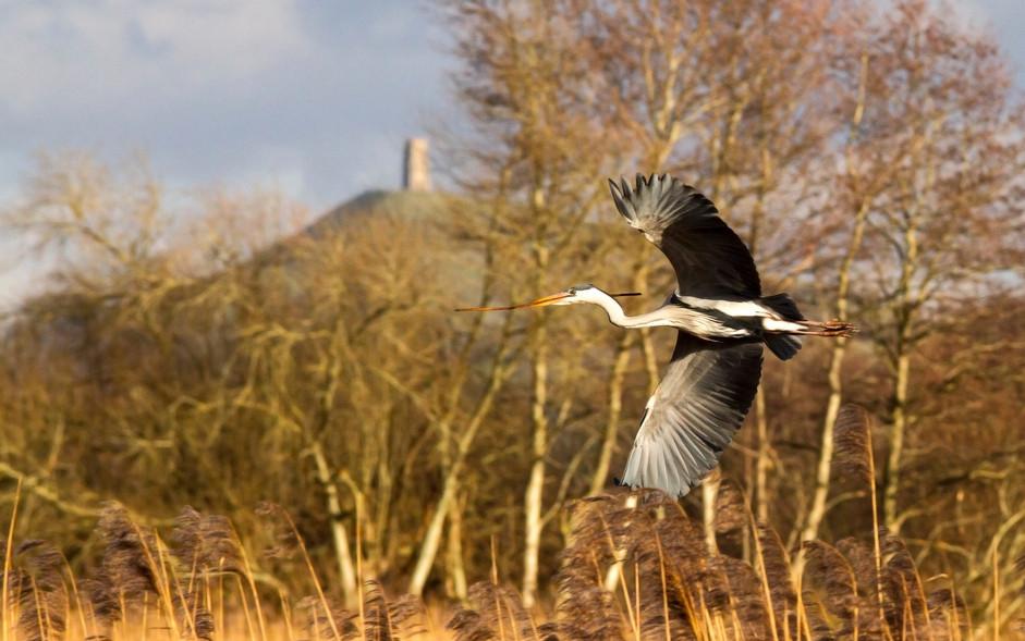 Glastonbury Heron
