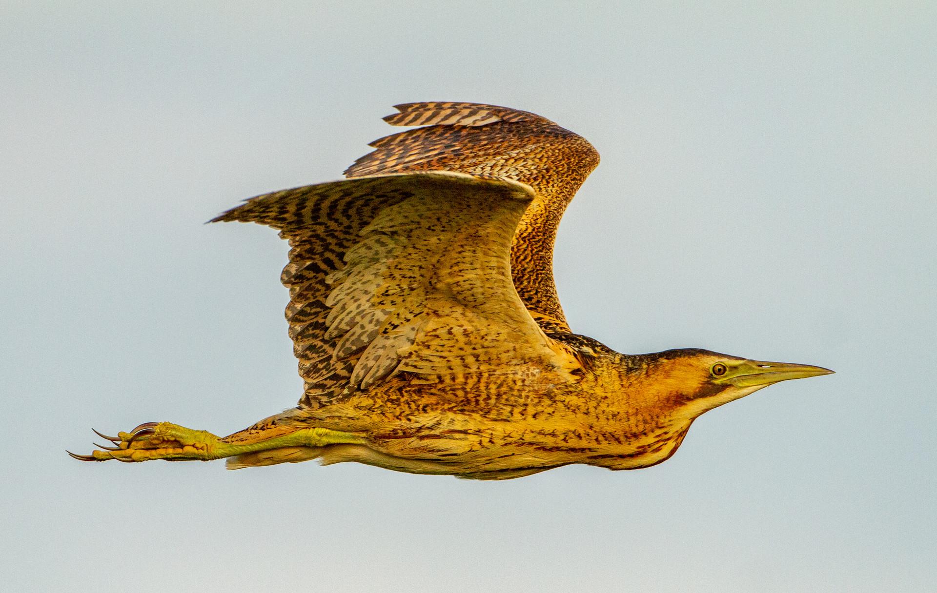 Golden Bittern