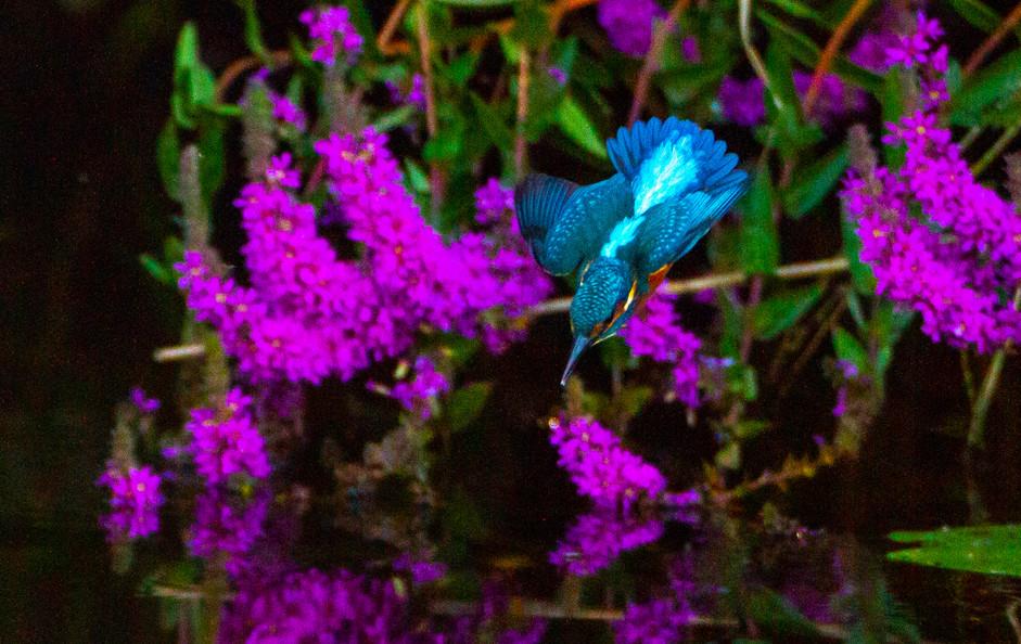 My first kingfisher shot