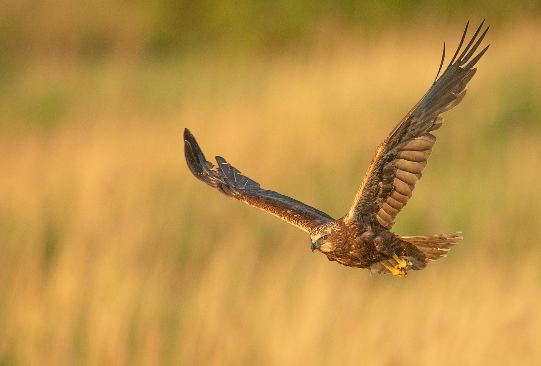 Marsh Harrier Hunt
