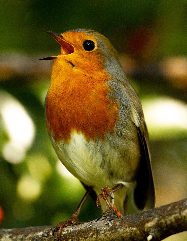 Robin calls