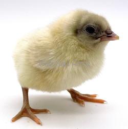 Splash Chick