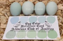 Cream Legbar Eggs and Color Chart
