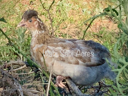 Blue Mille Crested Pullet With Tan Sub-color